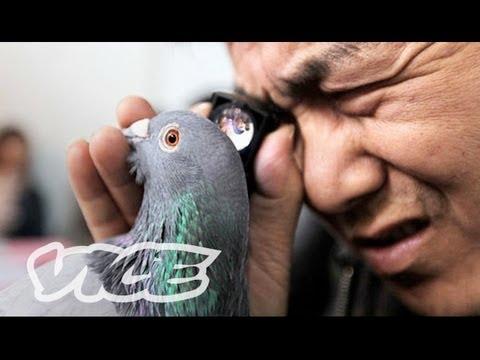China's Millionaire Pigeon Racers (Part 2/3)