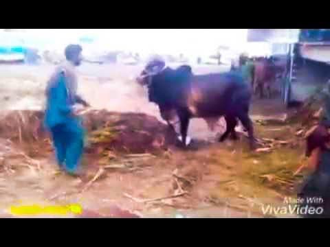 Bioparion Ki Waja Se Janwar Gir Para Unloading Hote Hue in Cow Mandi Bakra Eid In Pakistan