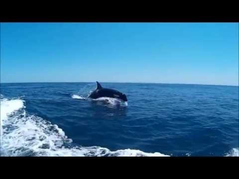 Orcas / Killer Whales (Orcinus orca) @ Sagres, Algarve, Portugal.